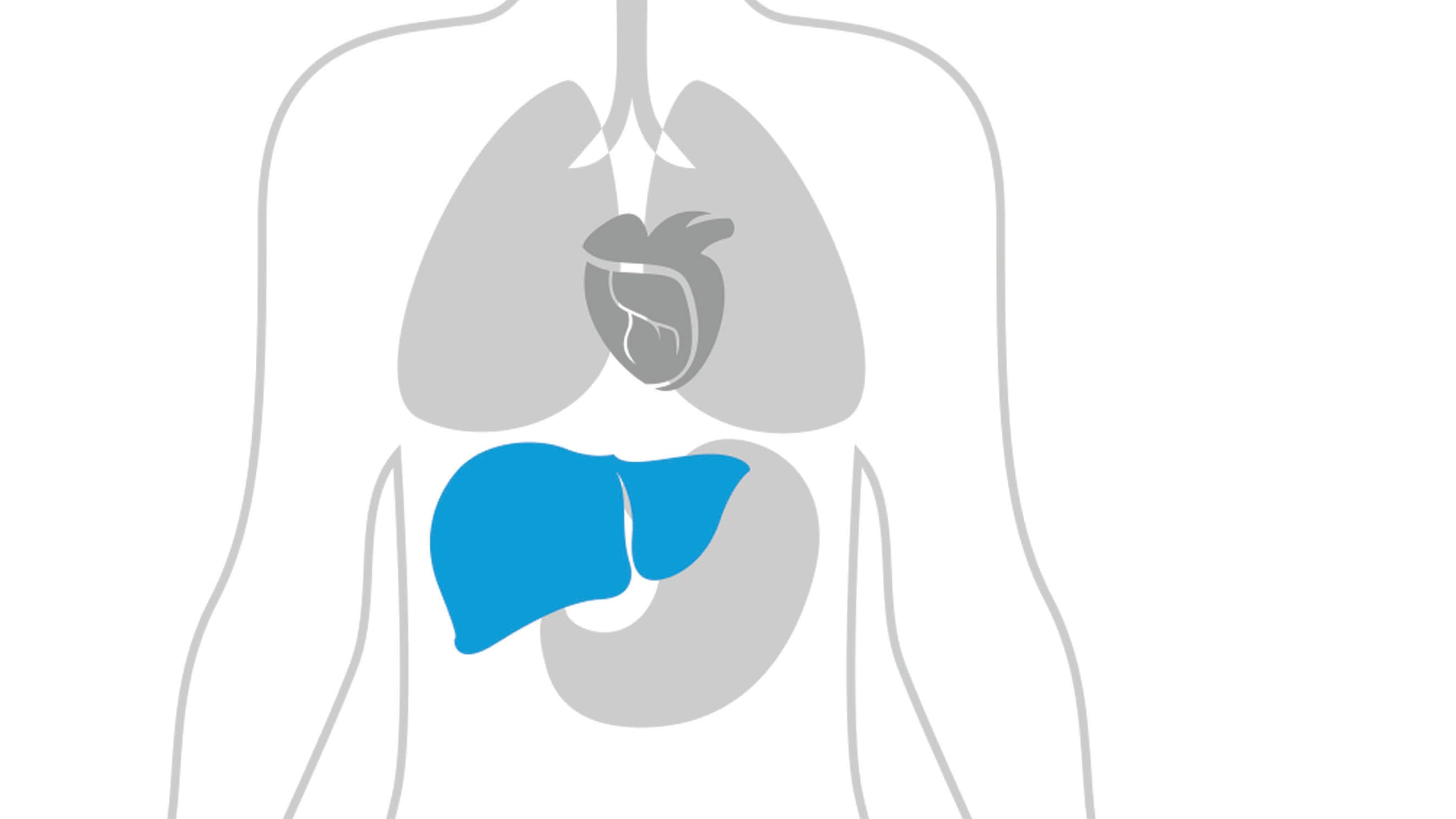 Illustration of the body shows the location of the liver where fatty liver disease can develop.