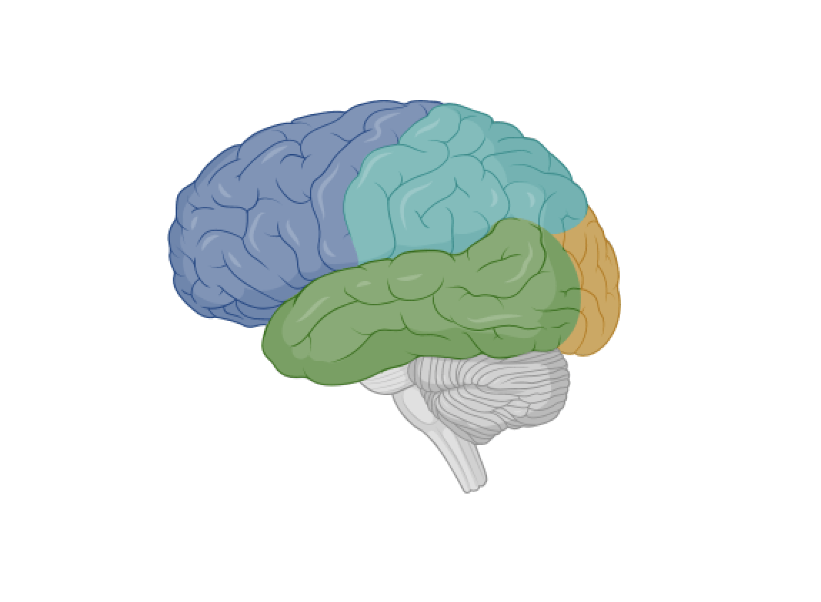 brain with colored sections