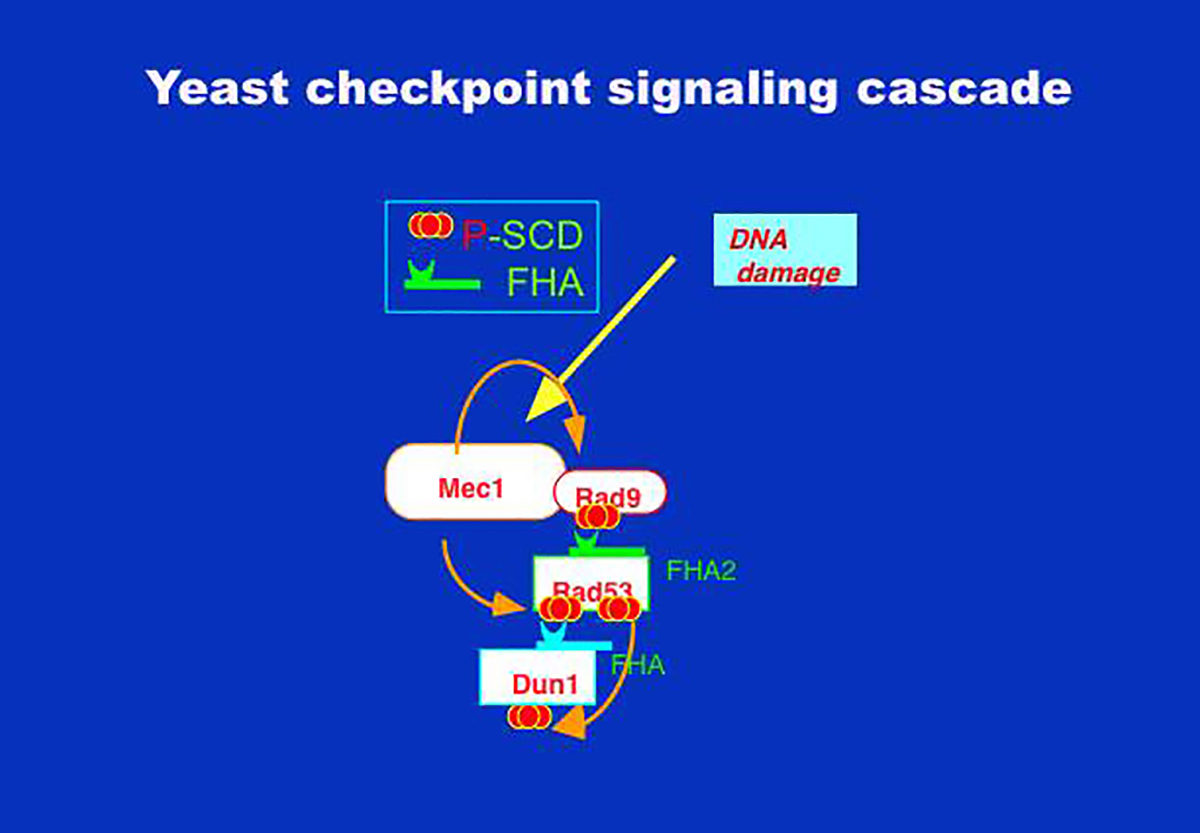 FIgure 4: Yeast checkpoint signaling cascade