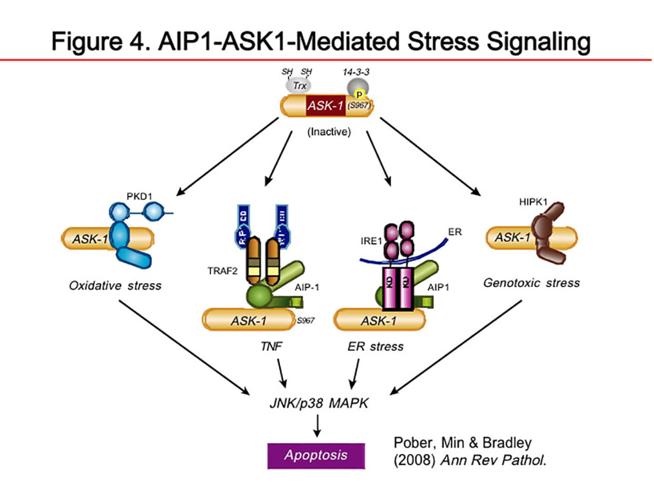 Figure 4: A1P1-ASK1-Mediated Stress Signaling