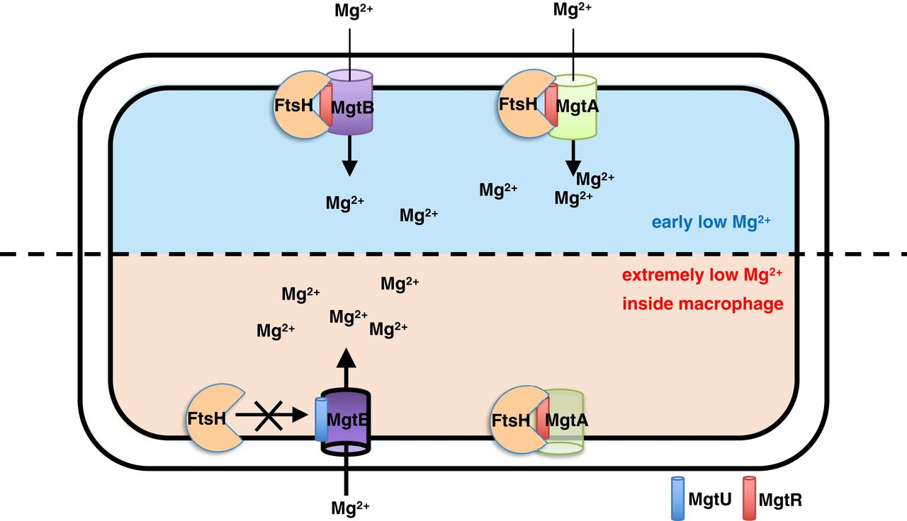 Small proteins regulate Salmonella survival inside macrophages by controlling degradation of a magnesium transporter.