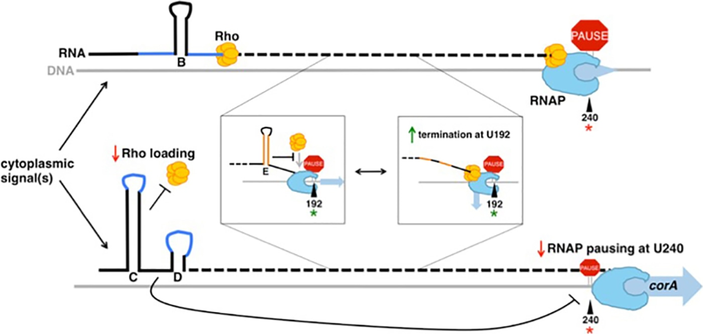 RNA secondary structures regulate three steps of Rho-dependent transcription termination within a bacterial mRNA leader.