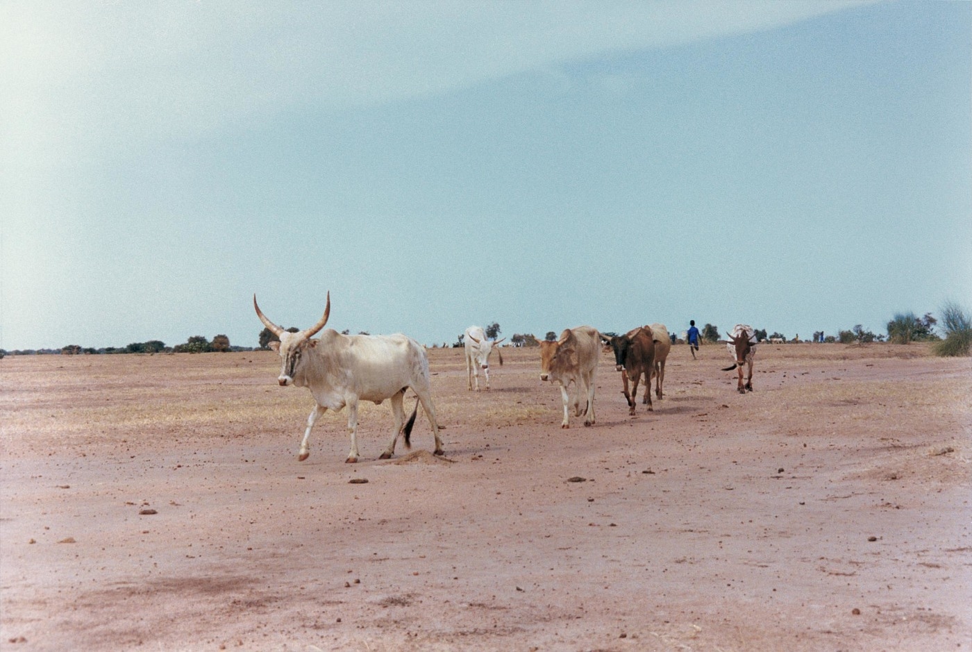 A drought in the 1960s and 1970s drove cattle herders off the dry plains of the Sahel and into the cities. In response, the Senegalese government and its neighbors resolved to spur agriculture and economic development by building dams along the Senegal Ri