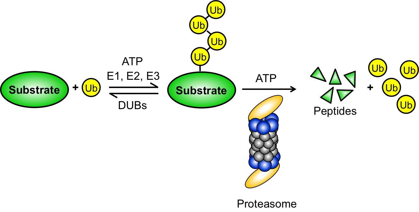 Ubiquitin Proteasome System