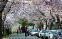 Pedestrians walking under blooming cherry trees.
