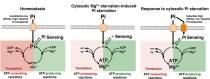 Protein synthesis controls phosphate homeostasis.