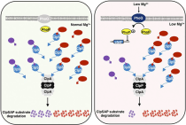 Reduction in adaptor amounts establishes degradation hierarchy among protease substrates.
