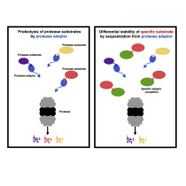 Sequestration from Protease Adaptor Confers Differential Stability to Protease Substrate.