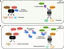 Activator of One Protease Transforms Into Inhibitor of Another in Response to Nutritional Signals.