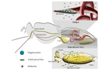 Microbial partners of tsetse