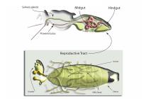 Ttsetse reproductive physiology