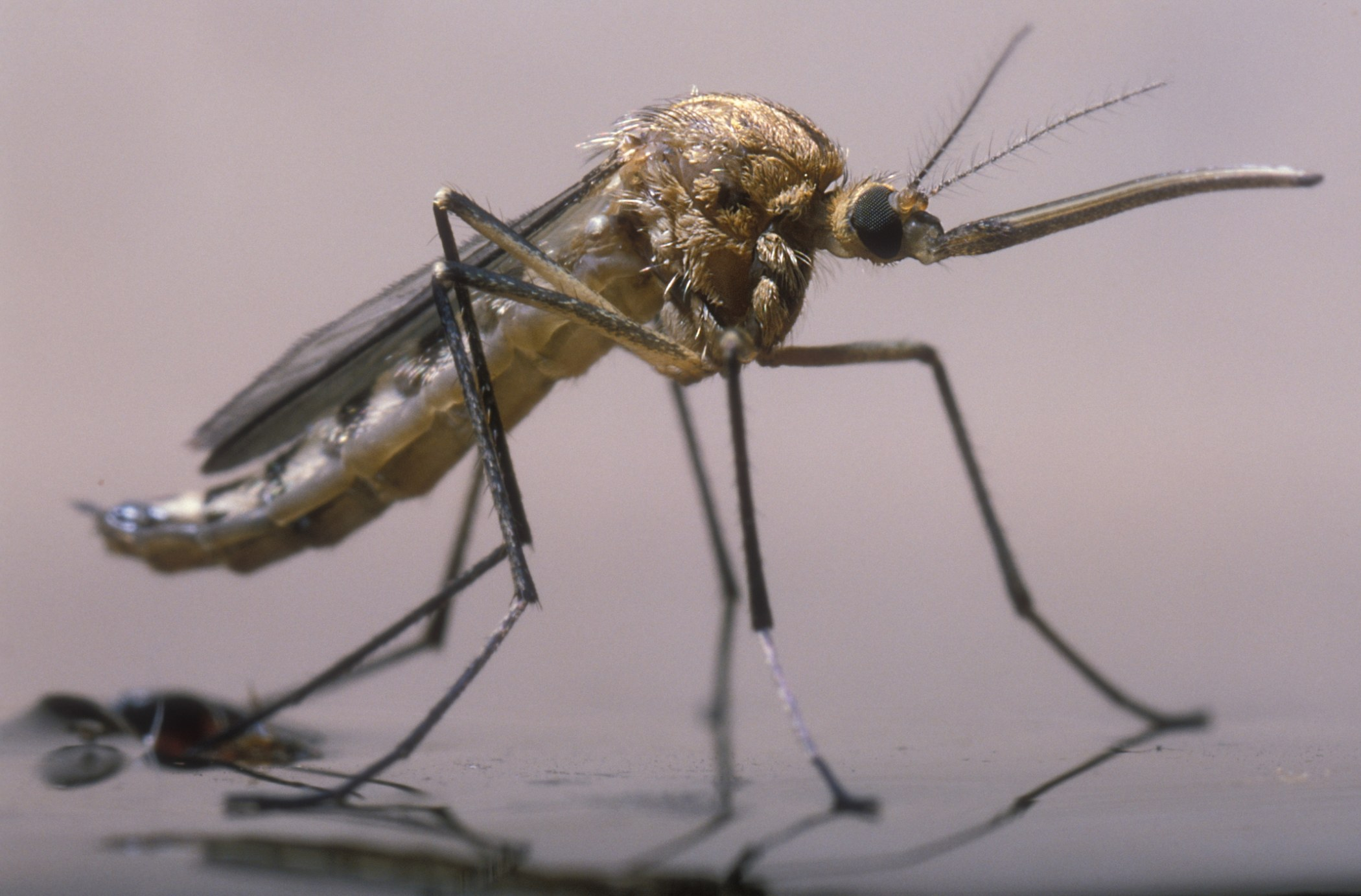 Malaria is transmitted by female mosquitoes.