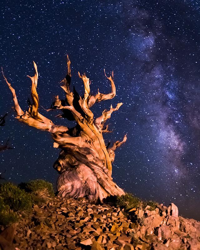 Bristlecone Pine, Pinus Longaeva