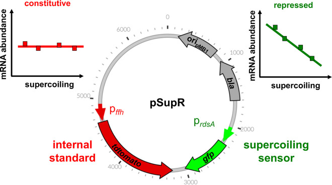 FEDS: a Novel Fluorescence-Based High-Throughput Method for Measuring DNA Supercoiling In Vivo.